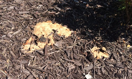 Dog Vomit Fungus Mulch 2
